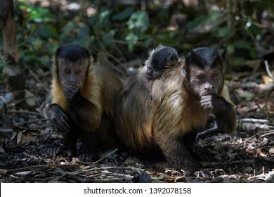 Brown Capuchin (Cebus apella) family together, Rehabilitationcenter Monkeyworld, South Africa