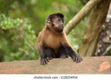 Brown Capuchin in South Africa