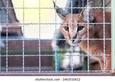 Brown caracal cat with eye contact is in the caged on blur background