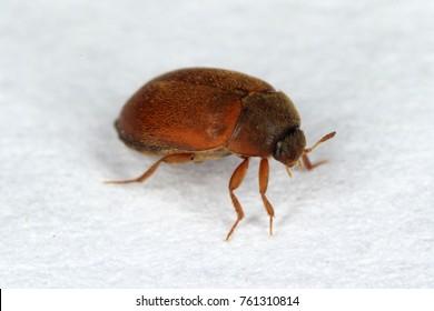 The brown carpet beetle Attagenus smirnovi Dermestidae family co