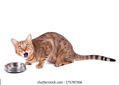 Brown cat breed Bengal (leopard cat - Prionailurus bengalensis), isolated on white background