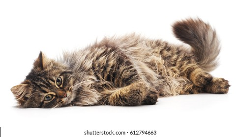 The brown cat isolated on a white background.