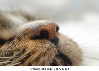 Brown cat nose close up photo. Cute orange and black color nose. Сat breathes air. Сat smells