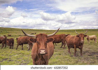 Brown cattle with long horns specific for the Auvergne region in France.The breed is Salers and is considered to be one of the oldest and most genetically pure of all European breeds.