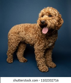 Brown Cavapoo dog on blue background