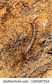 A Brown Centipede walking over decomposing wood. Also known as a Stone Centipede and is an invasive insect from Europe. Taylor Creek Park, Toronto, Ontario, Canada.
