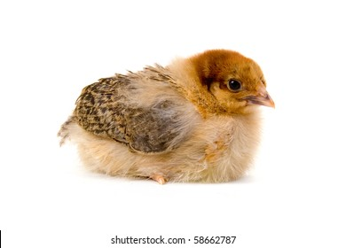 Brown chicken isolated on a white background