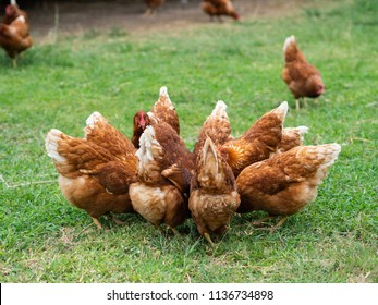 Brown chickens eating food on the grass floor. Farming & Pet Concept.