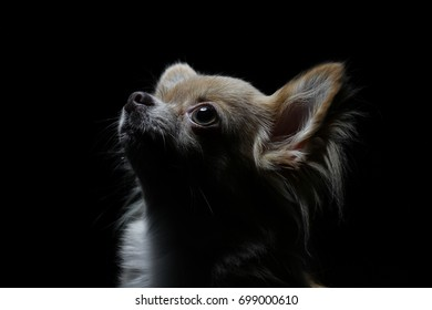 a brown chihuahua in black background, low key photography