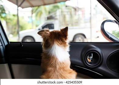 Brown chihuahua in the car