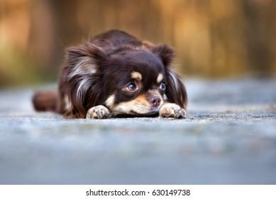 brown chihuahua dog lying down outdoors
