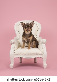 Brown chihuahua dog sitting in a white baroque chair on a pink background