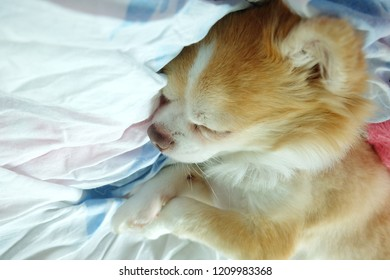 Brown chihuahua dog sleepy on the bed.