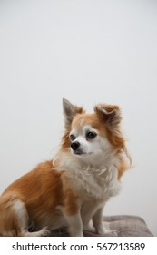 Brown chihuahua on isolated background