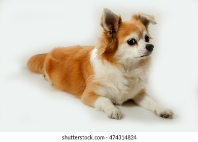 Brown chihuahua on white background
