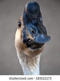 Brown chinese goose head