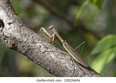 A Brown Chinese Preying Mantis Sitting On A Branch