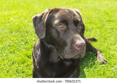 Brown Chocolate Labrador retriever. Dog on the green grass. Dog nose