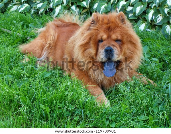 Brown chow chow dog Dina in the grass.