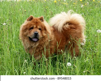 Brown chow chow dog in the green grass.