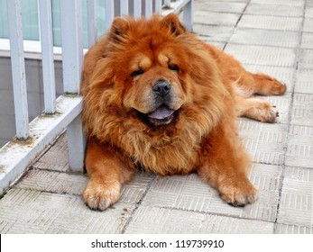 Brown chow chow dog living in the european city.