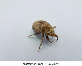 brown cicada shedded skin on white background
