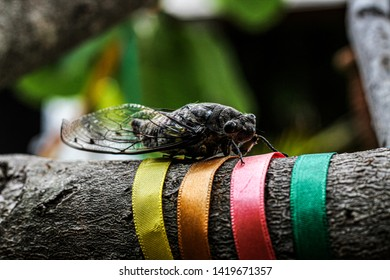 Brown cicada singing in the summer afternoon