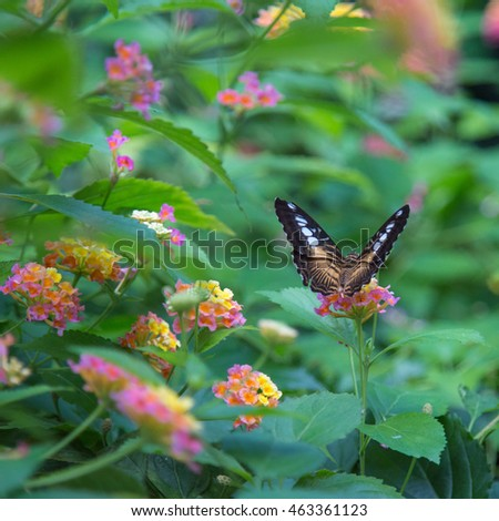 Brown Clipper Butterfly Butterfly Gardens Victoria Stock Photo (Edit ...
