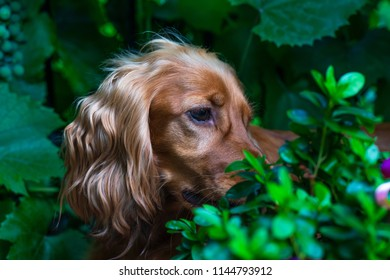 A brown cocker spaniel dog sitting in the bushes in the garden - selective focus