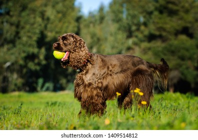 Brown Cocker Spaniel dog standing in field with ball