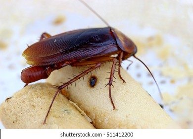 brown cockroach with cockroach eggs