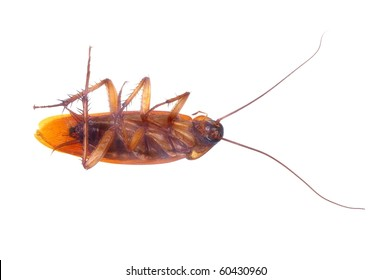 brown cockroach insect isolated over white