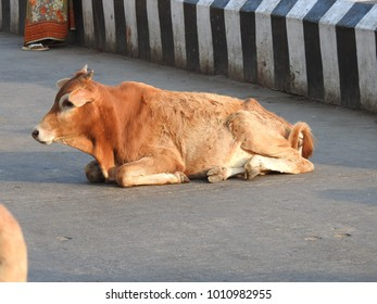 Brown color Cow lying on road in a street