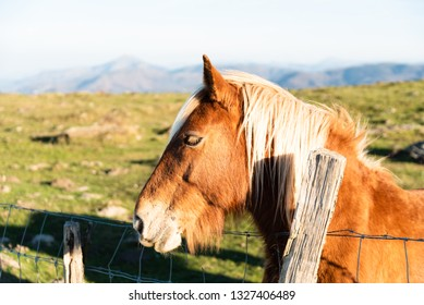 Brown color horse with blonde horsehair from the Basque country.