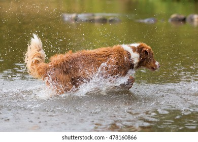 brown colored Australian Shepherd is running in a river with splashing water