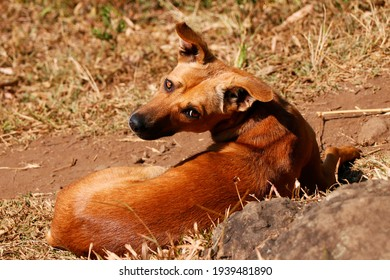 brown colored Dog with blurred background of field
