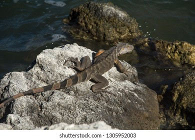 A brown colored green iguana taking a sun bath on the Florida Keys as all reptiles are in need of external heat sources to control the warmth of their body temperature