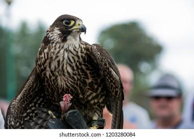 Brown colored hawk