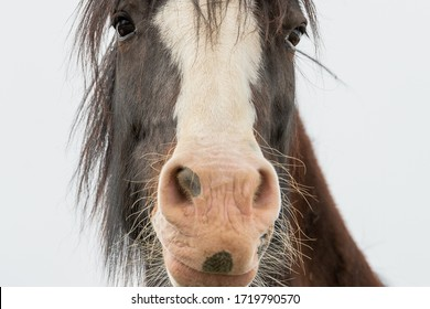 Brown colored horse with large nostrils. The centre of the horse's face is white from the forehead to the lips. The beautiful horse has dark hair, long lashes and whiskers. It is looking downward.