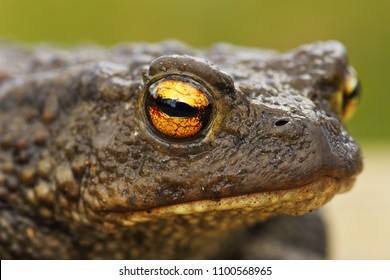 brown common toad portrait, closeup on the eye ( Bufo bufo )
