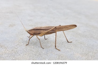 brown conehead katydid