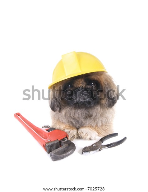 Brown construction worker Pekingese dog wearing yellow hard hat with tools isolated on white