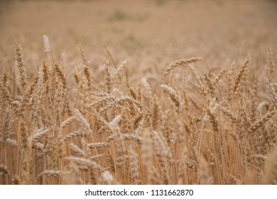 a brown cornfield just before the harvest in the evening
