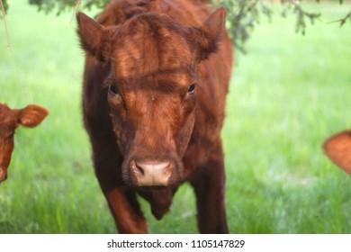 brown cow agriculture dairy farm portrait