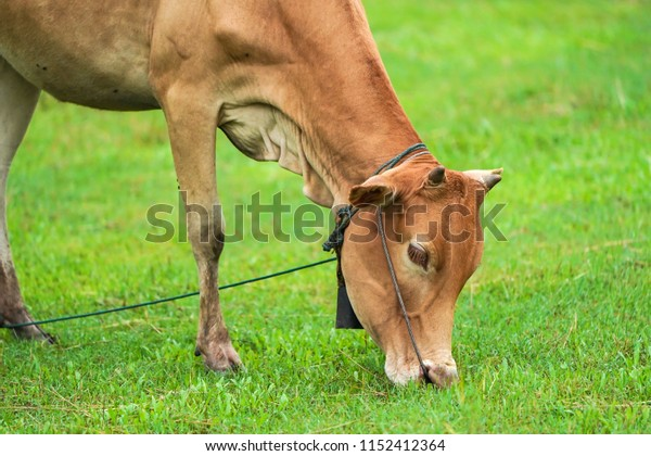 A brown cow with cow bell graze on  young grass and eats  young grass.
