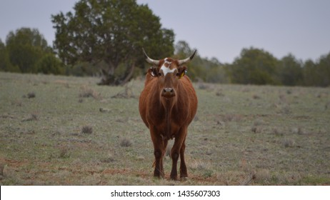 Brown cow, bull with horns and white stripe on face, looking straight at you in open field.