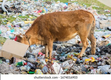 Brown Cow eating garbage from a carton box, in a dumpster