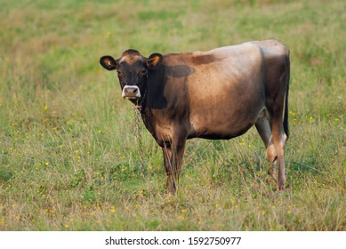 brown cow eating grass in field agriculture farm bovine