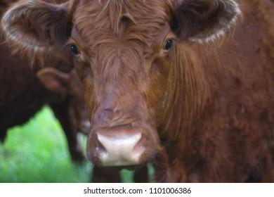 brown cow face closeup agriculture dairy farm portrait