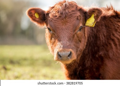 Brown Cow. Farmyard Cattle. Meat & Dairy Agriculture.